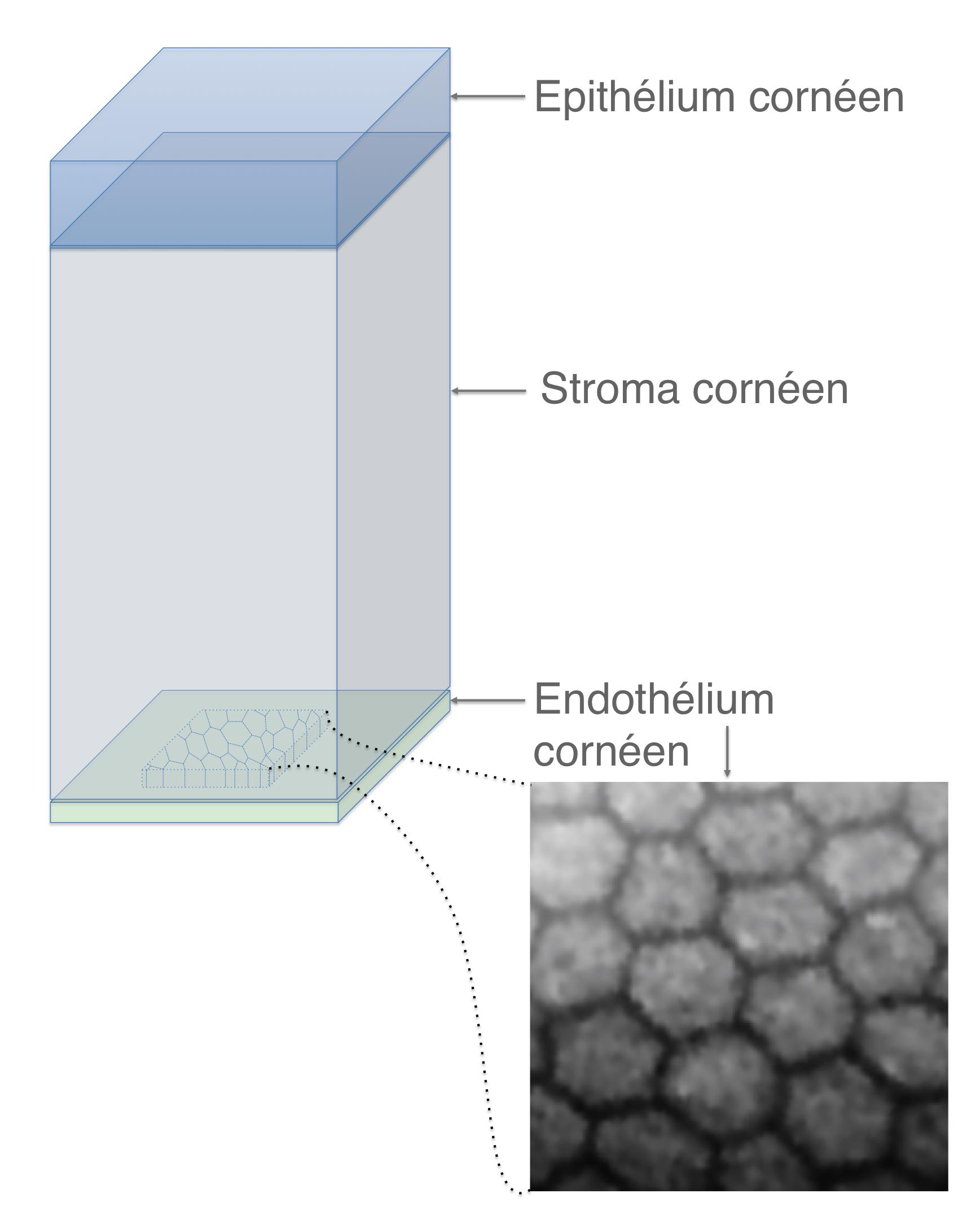 Analyse par microscopie sp culaire de l 39 endoth lium la couche la plus profonde de la corn e - Couche du globe oculaire ...