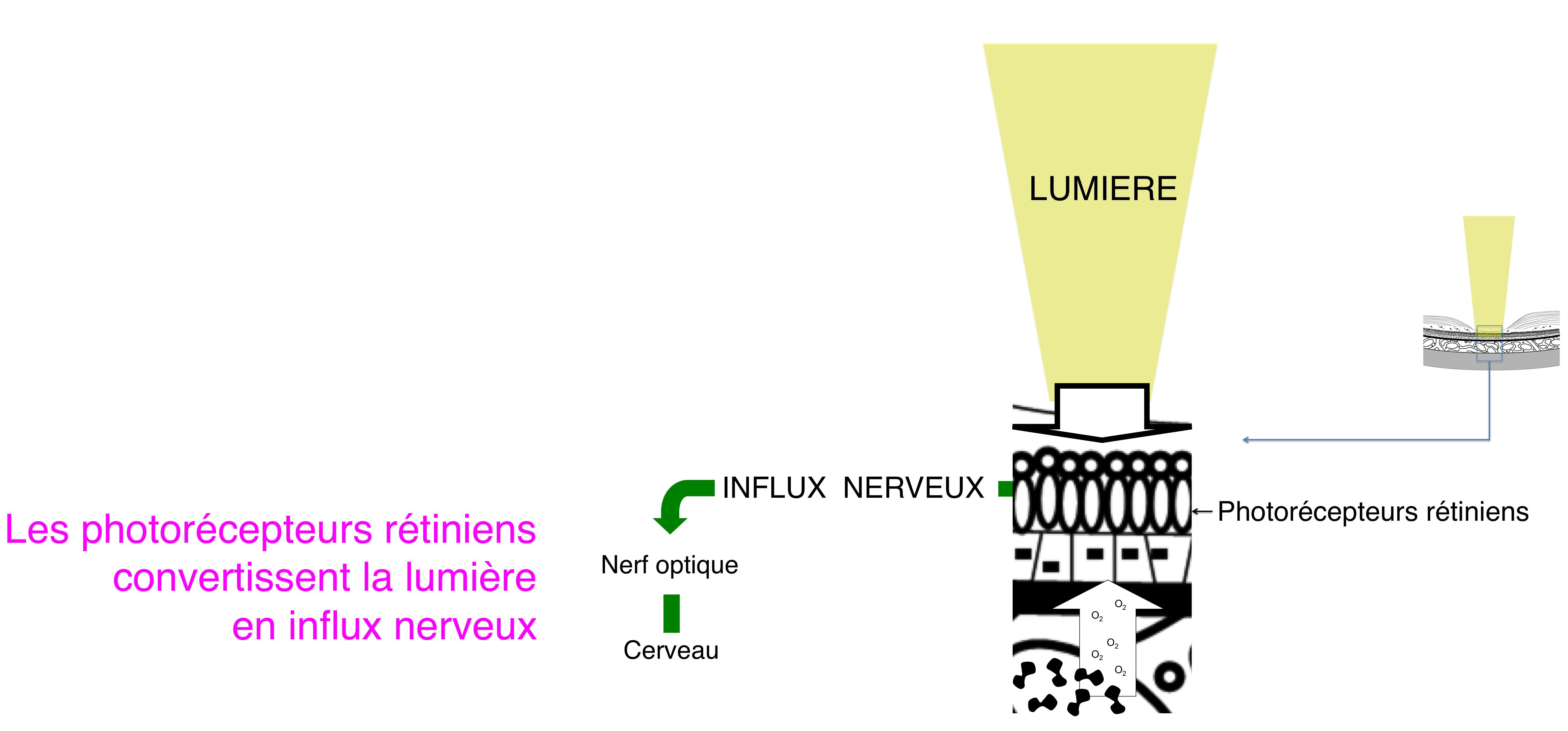 Conversion du signel lumineux en influx nerveux for Influx nerveux